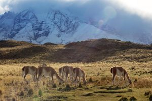 Guanacos-Torres-del-Paine
