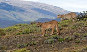 Puma-Torres-del-Paine